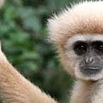 Gibbon_Ape_Monkeyland_AbcPlanet